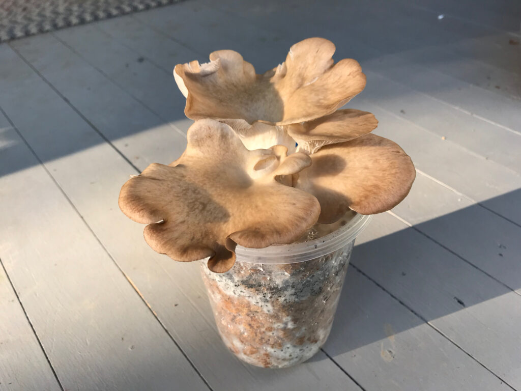 Phoenix oyster mushroom cluster in deli cup